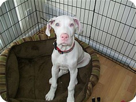 twinkle adopted puppy west bloomfield mi great dane