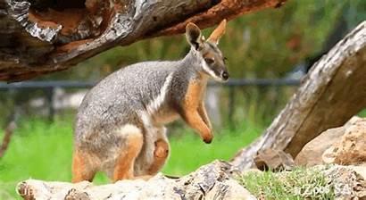 Kangaroo Wallaby Pouch Animated Sa Adopts Tree