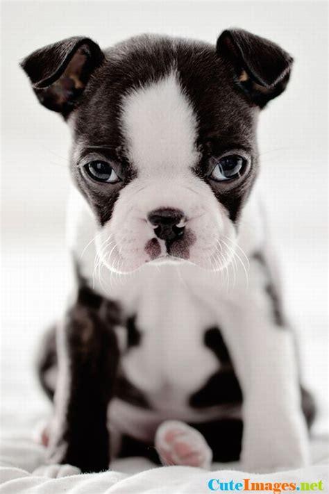 boston terrier puppies wallpaper gallery