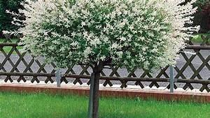 Bäume Für Kleine Gärten : harlekinweide schneiden und vermehren pflege tipps ~ Sanjose-hotels-ca.com Haus und Dekorationen