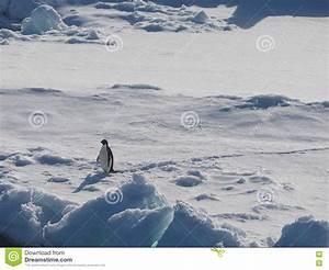 Pingouin Sur La Banquise : pingouin d 39 adelie sur la banquise en antarctique image stock image du arctique feuille 65823827 ~ Melissatoandfro.com Idées de Décoration