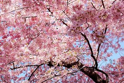 Sakura Nature Trees Magnolia Desktop Wallpapers Backgrounds