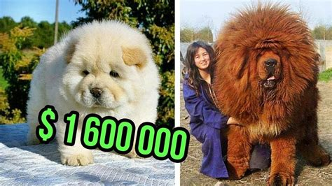 The Most Expensive Dog Breeds In The World Top 10