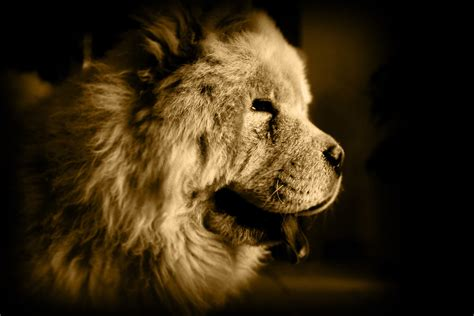 chow chow   lion dog wikipedia chow chow