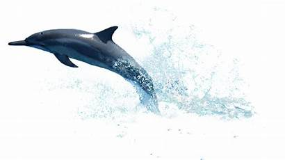 Dolphin Transparent Dolphins Background Water Star Whale