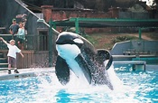 What is the true story behind Free Willy, the movie based ...