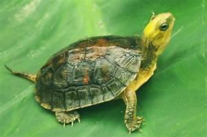 Yellow Box Turtle