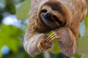 Costa Rican Rainforest Sloth | www.pixshark.com - Images ...