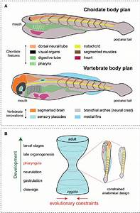 The Vertebrate Body Plan And The Hourglass Model    A