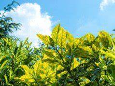 Kirschlorbeer Selber Ziehen : kirschlorbeer pflanzen d ngen und schneiden ~ Orissabook.com Haus und Dekorationen