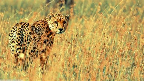 All Animal Wallpaper Hd - beautiful cheetah hd wallpapers backgrounds all hd