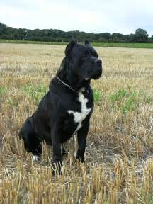 cane corso dog funny puppy dog pictures