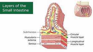 Layers Of The Small Intestine