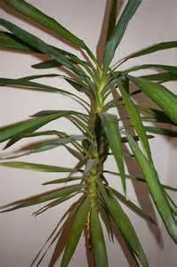 wohnzimmer palme meine palme lässt die blätter hängen seite 1 palmen palmenforum de