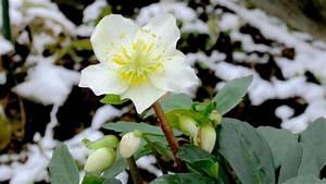 Blumen Im Winter : was bl ht im winter gartennatur ~ Eleganceandgraceweddings.com Haus und Dekorationen