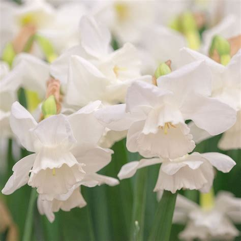 narcissus elvin s voice white flower farm