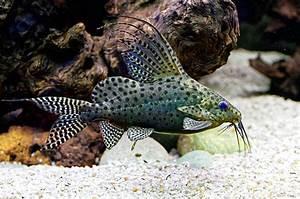 Synodontis Eupterus - Featherfin Cat 5cm - Catfish