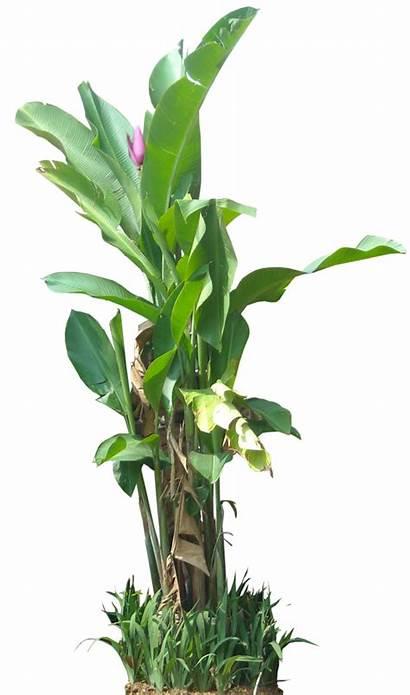 Tropical Plants Plant Ornamental Transparent Trees Background