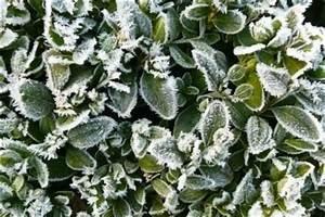 Immergrüne Pflanzen Winterhart Kübel : buchsbaum im k bel halten so geht 39 s ~ Lizthompson.info Haus und Dekorationen