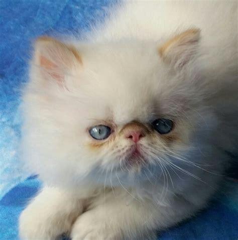 gattini persiani in vendita cuccioli di persiano da allevatori italiani