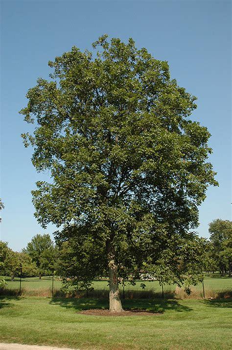 shagbark hickory carya ovata  st charles campton