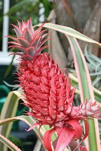 Plant D Ananas : ananas gattung wikipedia ~ Melissatoandfro.com Idées de Décoration