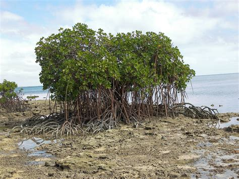 Mangrove tree wallpapers hd   Wallpapers-Wallpaper Free 3979