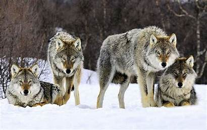 Wolf Wallpapers Norway Wolves