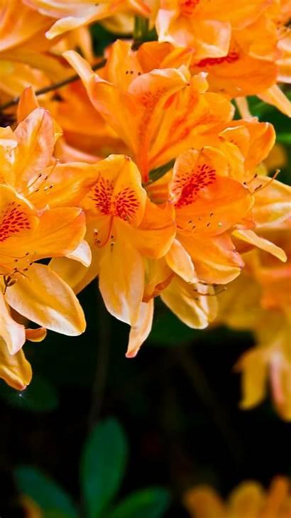 Orange Iphone Flowers Flower Android Blumen Wallpapers