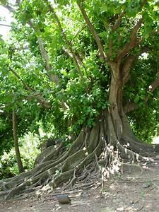 Profondeur Des Racines D Un Figuier : figuier maudit martinique arbre magique ou mal fique ~ Nature-et-papiers.com Idées de Décoration