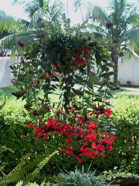 pictures of lipstick plant 17 best images about aeschynanthus lipstick plant on pinterest the courtyard hanging baskets