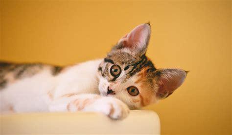 british cat names  brilliant ideas find cat names