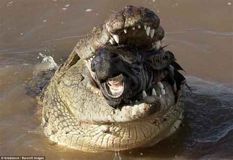Zebra swallowed whole by a crocodile in Kenya Daily Mail
