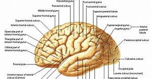 Dentalaka  Anatomy And Physiology Of Brain Diagrams