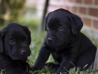 Labrador Retriever Puppies Lab Dogs Dog Puppy