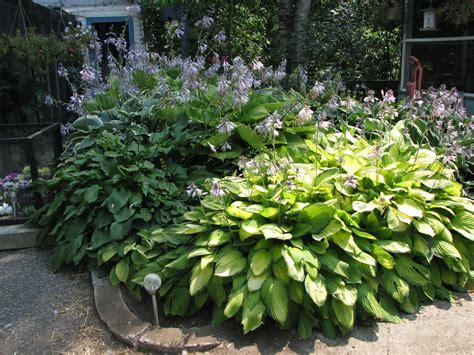 hosta garden garden and landscaping ideas