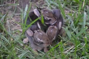 Wild Newborn Rabbits | www.pixshark.com - Images Galleries ...