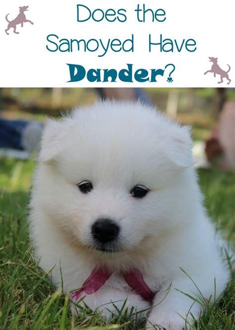 Do Samoyed Dogs Have Dander