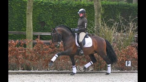 dressage stallion pre andalusian sport andalusier