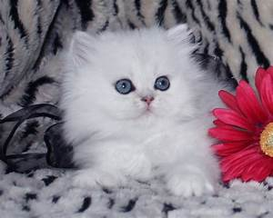 White Chinchilla Teacup : 8 Cool Tea Cup Persian Cats ...
