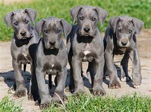 About dog great dane is your great dane potty trained enough for Great dane dog training