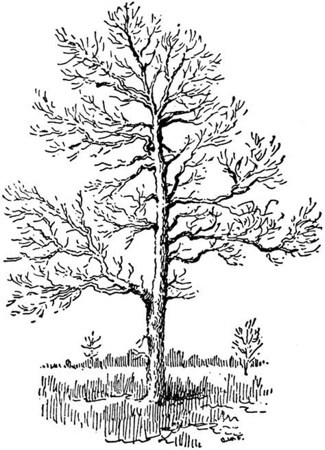 sassafras tree clipart