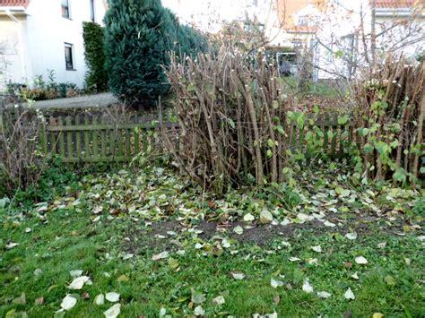 bäume schneiden im sommer lange bl 252 hende str 228 ucher hortensien 4 alles zum thema zierstr ucher finden sie im ratgeber