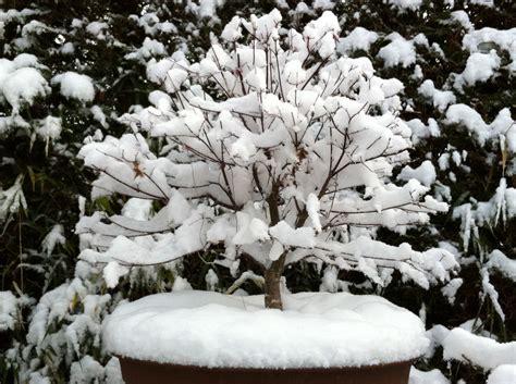 japanischer ahorn topf japanischer ahorn 187 ist er im k 252 bel winterhart
