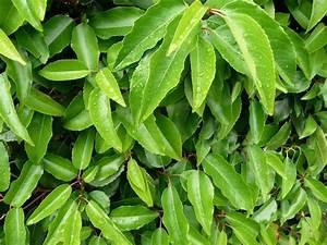 Kleinwüchsige Immergrüne Hecke : portugiesischer kirschlorbeer angustifolia prunus ~ Lizthompson.info Haus und Dekorationen