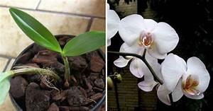 Comment Soigner Une Orchidée : comment faire refleurir une orchid e apr s 1 an avec un ~ Farleysfitness.com Idées de Décoration