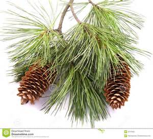 pine tree branch and cones royalty free stock photo image 2071635