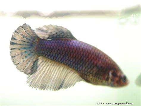 photos poissons combattants du betta club de forum poissons
