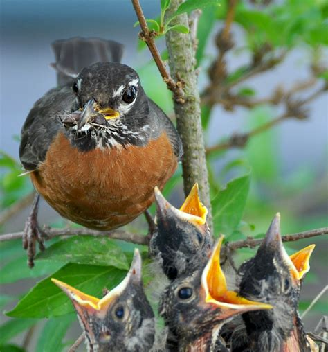 robins raise a brood in a hurry birdnote