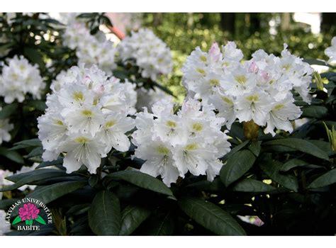 Latvijas stādi - Rhododendron 'Kārlis Ulmanis' - mūžzaļais ...